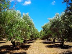 Olive orchard at Bella Vista Ranch in the Texas Hill Country town, Wimberley