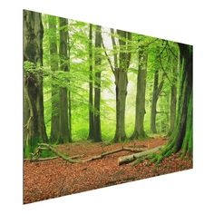 Bilderwelten Aluminium Print Quer 2:3 »Mighty Beech Trees« ab 59,95€. Wandbild auf Aluminiumplatte: 3 mm starkes Verbundmaterial bei OTTO