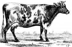 Old Design Shop ~ free digital image: a vintage black and white clipart cow