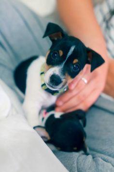 My rat terrier puppy Jigsaw. (: