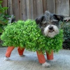 """Dressing your pet up as a """"chia pet"""" is a clever Halloween pun. If you've decided to make your own pet costumes this Halloween, this is one that should be at the top of your list. Homemade Halloween Costumes, Fete Halloween, Costume Halloween, Halloween Clothes, Halloween 2014, Halloween Gifts, Chien Halloween, Dog Halloween, Halloween Series"""