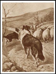 BORDER COLLIE DOGS HERDING SHEEP LOVELY VINTAGE STYLE DOG PRINT POSTER   eBay