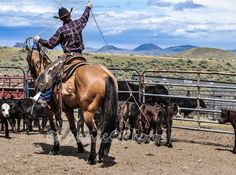 """Eric Branger riding """"Cinder"""", catches two heels at a branding on the Cowan Ranch. Cinder, Iron, Horses, Heels, Photography, Animals, Heel, Photograph, Animales"""
