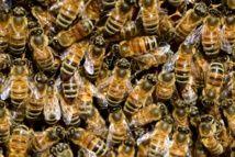 Foto: PollyDot. Las abejas entienden el número cero.