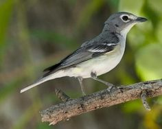 """Plumbeous Vireo.   Apr 24, 1995                         *Portal, So. Fork Cave Creek, # 550 in Lower 48. Plain, gray vireo, w/ faint wing bars, white eyering and """"spectacles"""", white breast and longish tail.  Photo Rick and Nora Bowers/VIREO"""