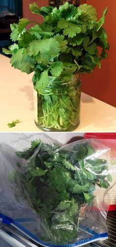 "Cilantro, Coriander, Medicinal, Benefits, Uses, Recipes, Herbs, Health, Holistic, Plants, Natural, Alternative- Medicine, Container Gardening, DIY, ""How to store fresh Cilantro"""