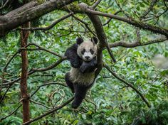 Although giant pandas spend most of the day eating and sleeping, they love to climb and play. Here a year-old cub explores the treetops in an enclosure at the Wolong center of the China Conservation and Research Center for the Giant Panda, where captive-bred pandas are trained to live in the wild. If the animal passes tests to gauge its survival skills and instincts, it will be released into the mountains.