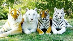 Normal, white, snow white and golden tabby Bengal tigers at Wild Adventures Theme Park in Valdosta, Georgia.
