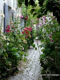 Hollyhocks on the French island Ile de Ré