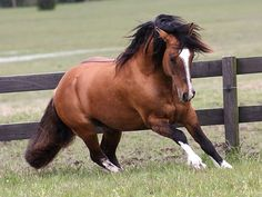 The Criollo (in Spanish), or Crioulo (in Portuguese), is the native horse of Uruguay (1910), Argentina (1918), Brazil (1932) and Paraguay. It may have the best endurance of any horse breed in the world next to the Arabian. In fact, due to the criollo's low basal metabolism, it may be a better long-distance horse than the Arabian in prolonged races over a week in duration with no supplemental feed. The breed, known for its hardiness and stamina, is most popular in its home countries.