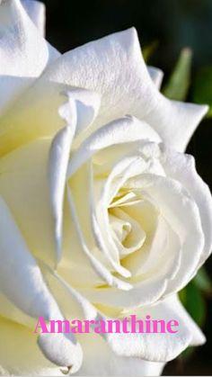 Beautiful Rose Flowers, Love Rose, My Flower, Pretty Flowers, White Flowers, Red Roses, Beautiful Things, Ronsard Rose, Image Beautiful