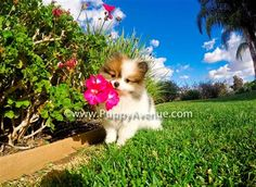 Puppy Avenue is the best place where you can adopt a beautiful and healthy Pomeranian puppy. Teacup Pomeranian puppies are available in California, San Diego and Southern California at the largest breeder in the areas.