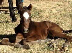 Foal laying on the ground!