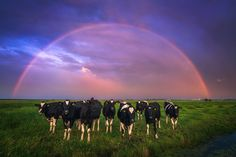 Photo by Albert Dros. Exactly after I year took a great shot with cows in front of a thunderstorm, I took this one at the same location! These cows in combination with the weather gods seem to like me :)
