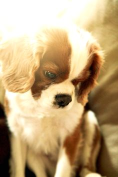 // King of the world Baby Puppies, Cute Puppies, Cute Dogs, Cavalier King Charles Dog, King Charles Spaniel, Beautiful Dogs, Fur Babies, Doge, Dog Cat