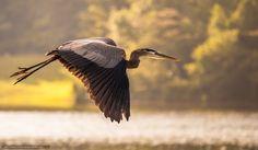 Tlcharger Fond d'ecran oiseau, grue, hron, vol Fonds d'ecran gratuits pour votre…