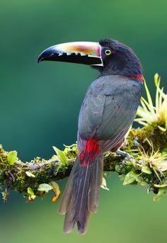 Collared Aracari - Costa Rica by Jim Cumming on 500px