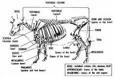 Bovine Anatomy - Skeletal