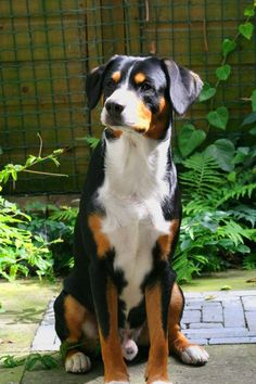Entlebucher Mountain Dog or Entlebucher Sennenhund  -- could this be the missing link in regards to figuring out our Shenzi's mixed breeds?!  :)