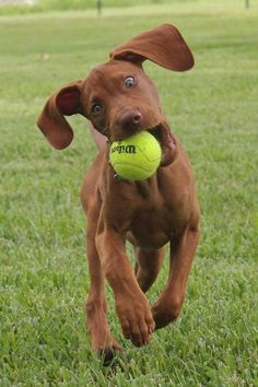I once had a Vizsla names Oscar.....who loved to chase tennis balls, just like this gorgeous dog!