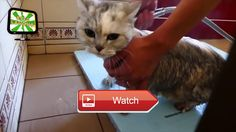 😸 FUNNY CATS Bathing Cats BATH TIME HD Epic Moments 😼 FUNNY CATS Bathing Cats BATH TIME HD Epic Moments FUNNY CATS Bathing Cats BATH TIME…