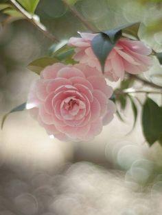 Camellia Japonica 'O shokun'