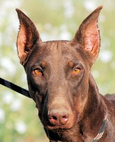 Meet Tribute, a Petfinder adoptable Doberman Pinscher Dog | Tehachapi, CA | Tribute is a red female Doberman, cropped and docked. She is a small-to-medium-sized deer-like...