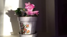 ✿My lovely Thanksgiving cactus in a vintage pot during the golden hour✿