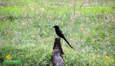 Bronzed Drongo Feature Photography - Stray Feathers (Birds) Photo Credits: Raja Saha  http://www.dreamwanderlust.com/stray-feathers.php
