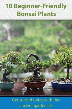 Bonsai trees are growing in popularity every day. Be part of the trend with one these ten beginner-friendly bonsai varieties. Bonsai trees are growing in popularity every day. Be part of the trend with one these ten beginner-friendly bonsai varieties. Buy Bonsai Tree, Bonsai Tree Care, Bonsai Tree Types, Indoor Bonsai Tree, Bonsai Plants, Bonsai Garden, Planter Garden, Indoor Trees, Box Garden