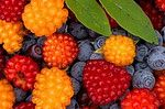 Salmon Berries (Rubus spectabilis) and Alaska Blueberries (Vaccinium ovalifolium), both delicious berries that grow wild in the Tongass National Forest in Southeast Alaska