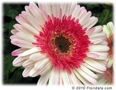 This plant is a Gerbera Daisy Lollipop. It's flowers are huge and will make you happy.
