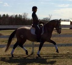 Emperador DC - Gorgeous, Sane, Talented, Honest and FUN! This 7-year-old Imported Lusitano is a dream come true with his golden character and his incredible ability for dressage work! Training 3rd/4th level and loves to trail ride. This is a special horse looking for a special home. $64,500