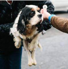 Mashable: Volunteers save 108 suffering dogs Cavalier King Charles Spaniels) from breeding farm King Charles Cocker Spaniel, Cocker Spaniel Rescue, Cavalier Rescue, Rescue Puppies, Cavalier King Charles, Man Beast, Poor Dog, Puppy Mills, Little Puppies