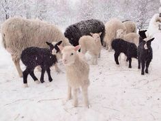 Lambs in the snow.