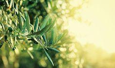 Olive オリーブ 花言葉・誕生花