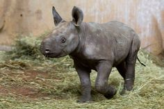 Zoo Zurich has eagerly waited 18 years to be able to announce the birth of a new East African Black Rhino. After years of failed breeding attempts, the zoo has been closely monitoring the recent pregnancy of one of their females. Finally, on December 28th, 14-year-old mother, 'Samira', and 15-year-old father, 'Jeremy', welcomed a healthy, feisty rhino girl, named 'Olmoti'! Learn more, see more: http://www.zooborns.com/zooborns/2015/01/good-things-come-to-those-who-wait.html