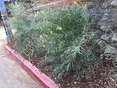 Another interesting bushy plant that might coordinate well with the Acacia?  What is this called?