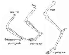 Postures of primates: plantigrade, digitigrade and unguligrade