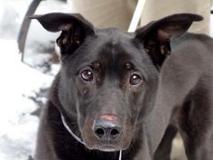 SAFE --- SUPER URGENT 2/5/14 Manhattan Center    SIR CHARLES - A0991085   NEUTERED MALE, BLACK, LABRADOR RETR / GERM SHEPHERD, 10 yrs  OWNER SUR - EVALUATE, NO HOLD Reason NO TIME   Intake condition GERIATRIC Intake Date 02/05/2014, From NY 10458, DueOut Date 02/05/2014 Main thread: https://www.facebook.com/photo.php?fbid=755130157833199&set=a.617942388218644.1073741870.152876678058553&type=3&permPage=1