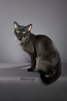 Chausie cat, black grizzled tabby, hybrid of domestic and jungle cats