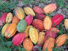 What The Pod - curated list of the most popular cocoa pods