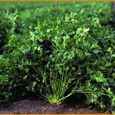 Natural Treatments, Parsley, Herbs, Health, Plants, Face Book, Sport, Desserts, Varicose Veins