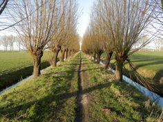 Zuidhollands landschap met knotwilgen, weilanden, sloten en een landweg
