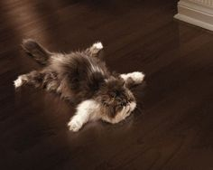 spread eagle cat. awesome.
