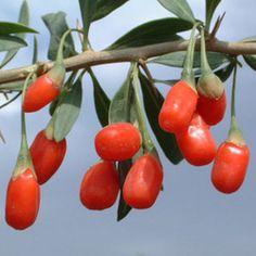 Goji Berry (Lycium Barbarum) | Parkers Wholesale