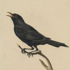 Blackbird (Turdus merula) singing (recorded by Eric & May Noble, Wales, March 1991. Source: The British Library)