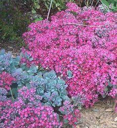 "lidakense sedum  zone 3-9, 10-12"" full sun, part shade.  Plant in masses"