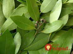 """Zázračné korenie a krásna izbová rastlina v jednom: Takto jednoducho si doma vypestujete""""bobkový list""""!"""