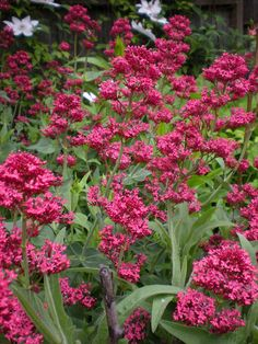 Red valerian - planted in path in front of swing. Care of red valerian includes clipping the plant back by one third in late summer. Deadhead so doesn't go rampant.